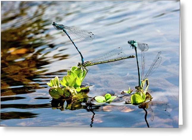 Southern Damselflies Mating Greeting Card