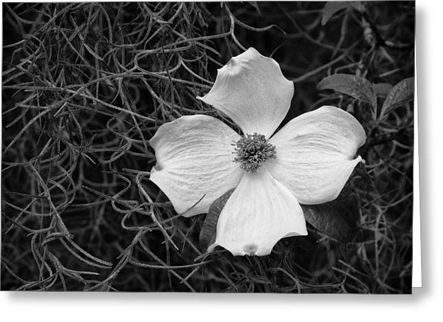 Southern Dogwood Greeting Card by Carrie Cranwill
