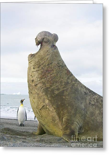 Southern Elephant Seal Bull Roaring Greeting Card by Yva Momatiuk and John Eastcott
