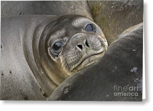 Southern Elephant Seal Pup South Greeting Card by
