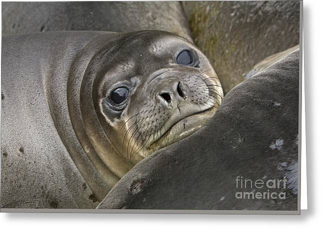 Southern Elephant Seal Pup South Greeting Card by Yva Momatiuk and John Eastcott
