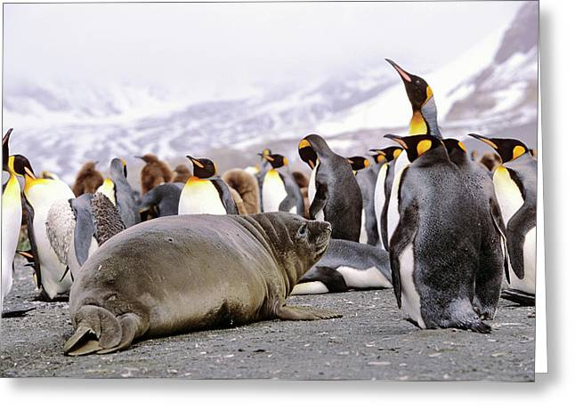 Southern Elephant Seal Weaned Pup Greeting Card by Martin Zwick