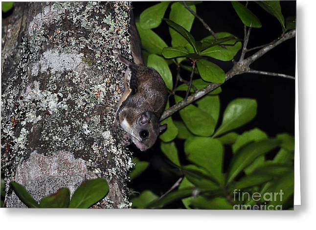 Southern Flying Squirrel Greeting Card by Al Powell Photography USA