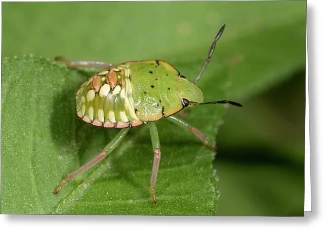 Southern Green Shield Bug Greeting Card