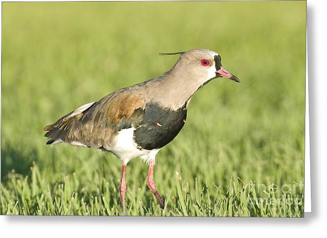 Southern Lapwing Greeting Card