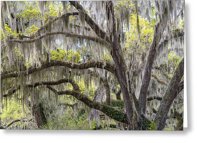 Southern Live Oak With Spanish Moss Greeting Card by Scott Leslie