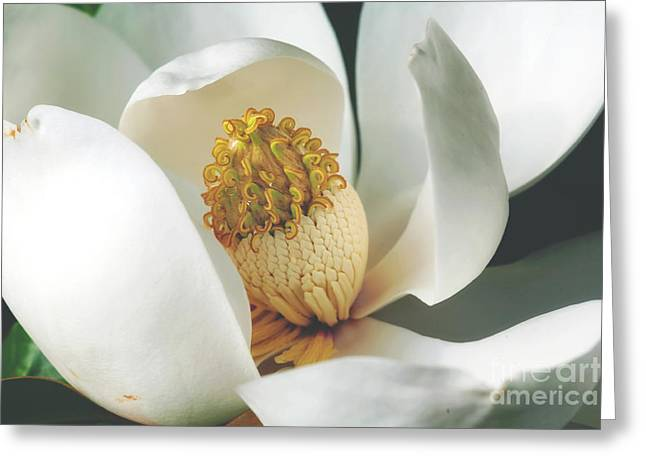Southern Magnolia Tree Bloom Greeting Card by Joan McCool