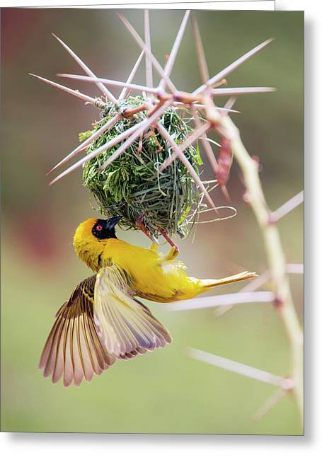 Southern Masked Weaver Building Nest Greeting Card