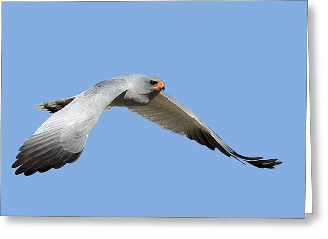 Southern Pale Chanting Goshawk In Flight Greeting Card by Johan Swanepoel