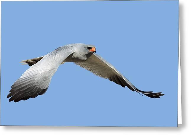 Southern Pale Chanting Goshawk In Flight Greeting Card