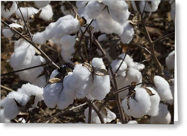 Southern Plantation Cotton Greeting Card by Kathy Clark