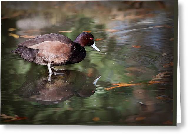 Greeting Card featuring the photograph Southern Pochard by Tyson and Kathy Smith