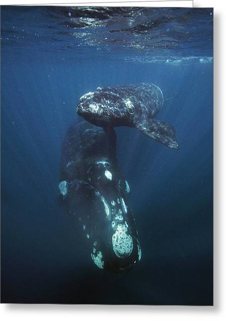 Southern Right Whale And Calf Valdes Greeting Card