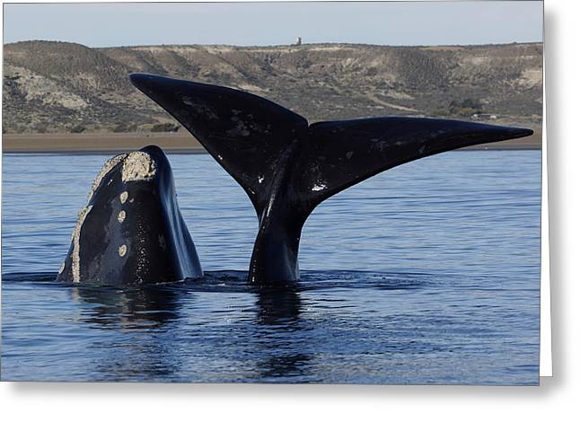 Southern Right Whale Calf With Mother Greeting Card