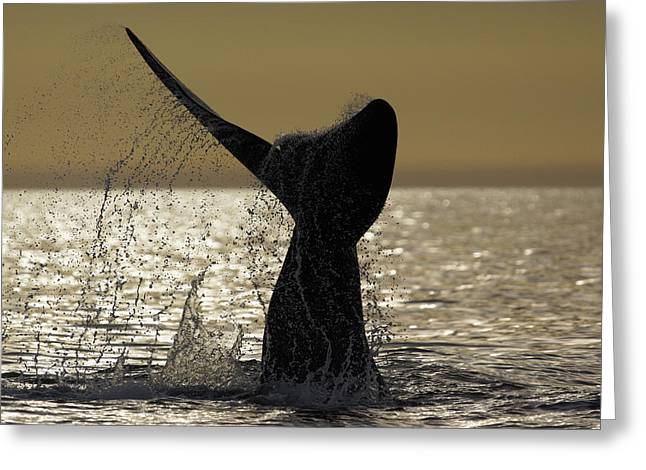 Southern Right Whale Tail Slap Valdes Greeting Card