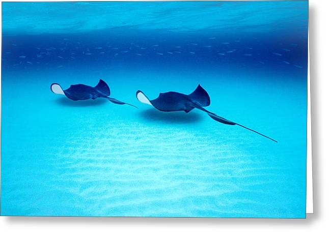 Southern Stingrays Grand Caymans Greeting Card by Panoramic Images