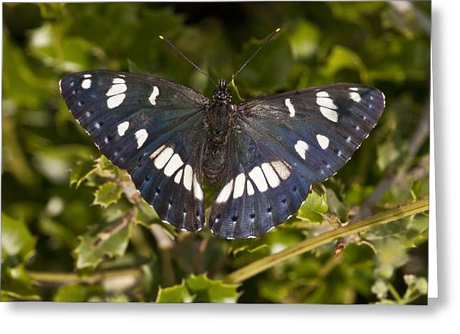 Southern White Admiral Butterfly Greeting Card