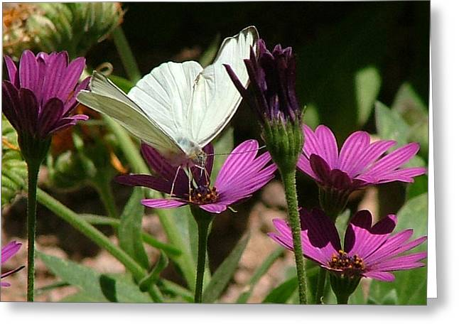 Southern White Butterfly On Purple Flower - 110 Greeting Card