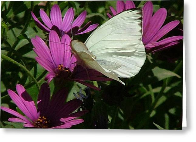 Southern White Butterfly On Purple Flower - 111 Greeting Card
