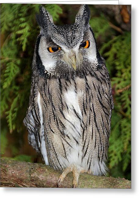 Southern White-faced Scops Owl Greeting Card