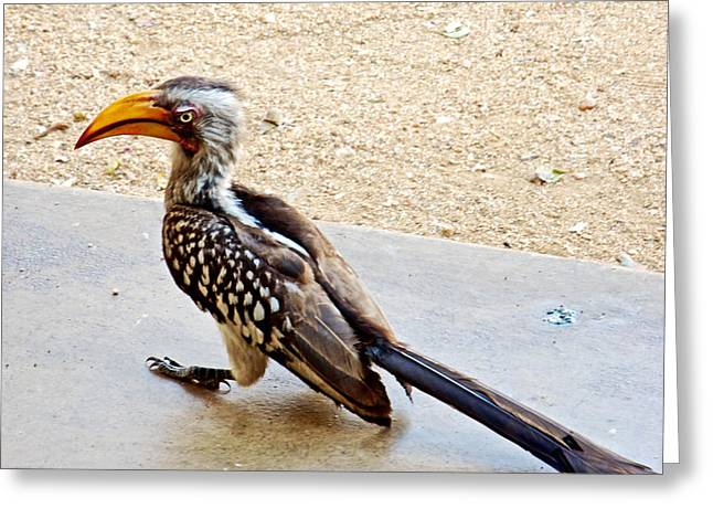 Southern Yellow-billed Hornbill In Kruger National Park-south Africa Greeting Card