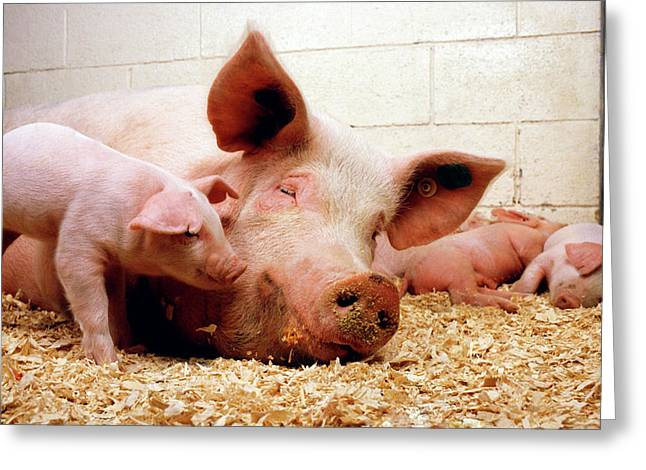 Sow And Piglets Greeting Card
