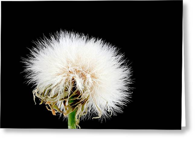 Sow Thistle Seed Head Greeting Card by Us Geological Survey