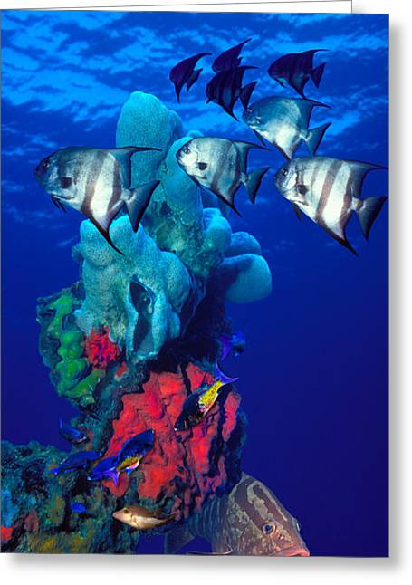 Spadefishes With Nassau Grouper Greeting Card by Panoramic Images