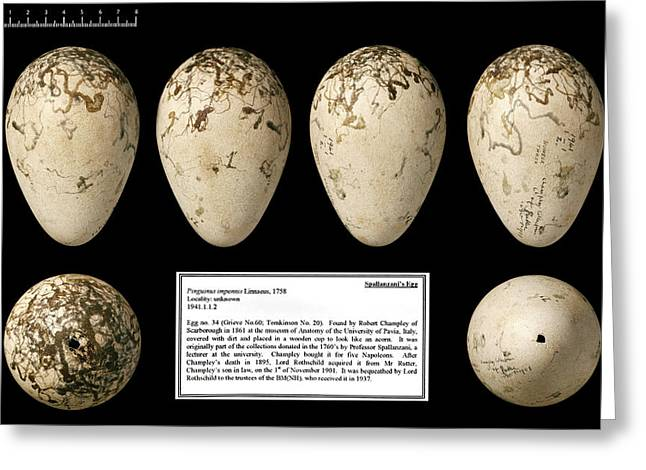 Spallanzani's Great Auk Egg Greeting Card by Natural History Museum, London