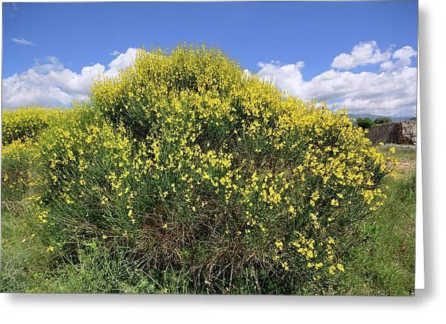 Spanish Broom (spartium Junceum) Greeting Card