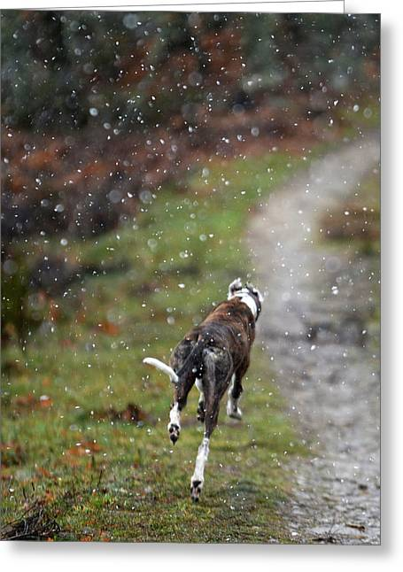 Spanish Greyhound Runs In The Mountains Greeting Card by Nano Calvo