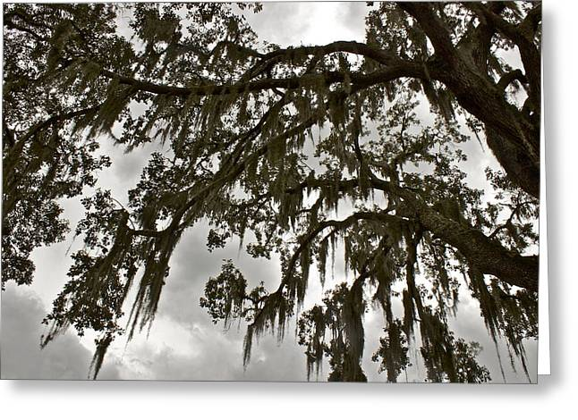 Greeting Card featuring the photograph Spanish Moss by Alice Mainville