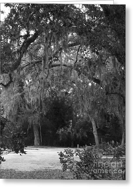 Spanish Moss Of St.augustine Greeting Card