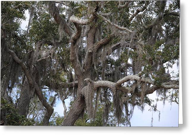 Spanish Moss On Live Oaks Greeting Card