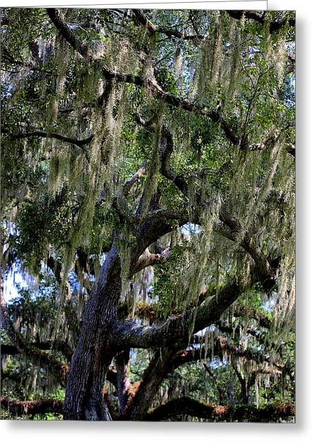 Spanish Moss Greeting Card by William Tucker