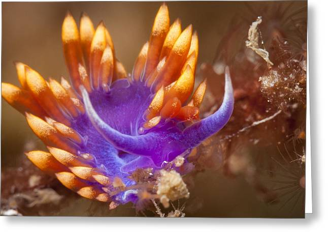 Spanish Shawl Nudibranch Greeting Card