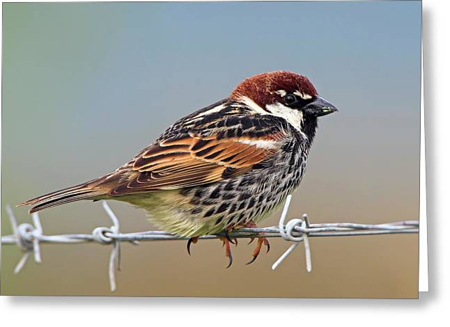 Spanish Sparrow On Barbed Wire Greeting Card