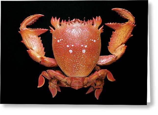 Spanner Crab Greeting Card