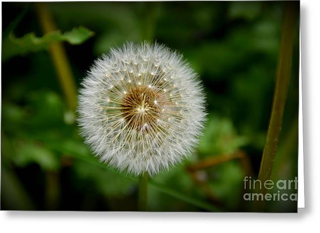 Greeting Card featuring the photograph Sparkling Dandelion by Debra Martz