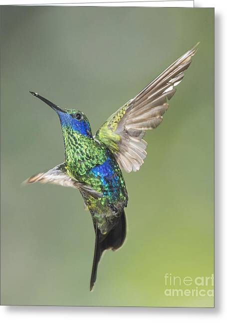 Sparkling Violet-ear Hummingbird Greeting Card by Dan Suzio