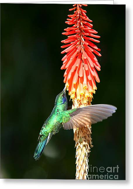 Sparkling Violetear Hummingbird Greeting Card by James Brunker
