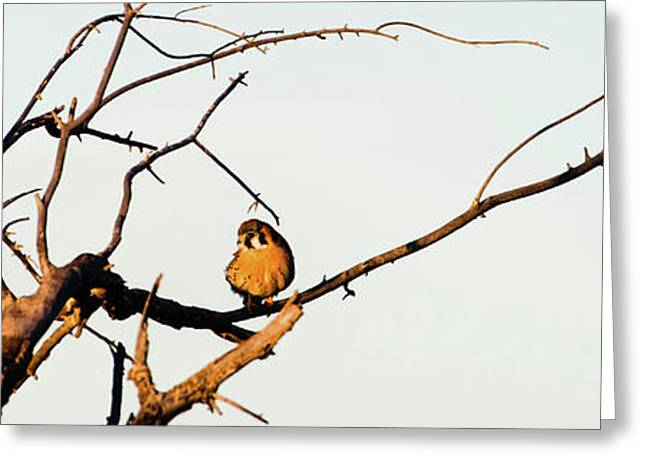 Sparrow Hawk Perching On Bare Tree Greeting Card by Panoramic Images