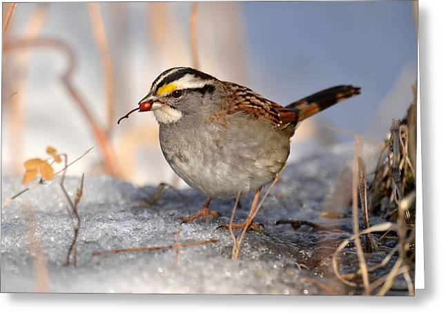Sparrow With Berry Greeting Card by Ann Bridges