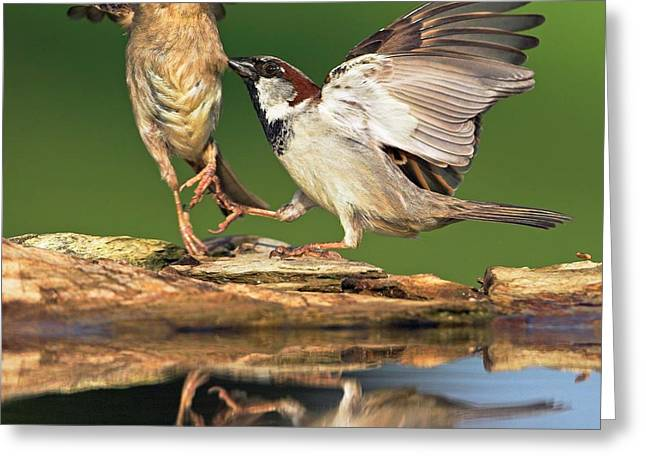 Sparrows Fighting Greeting Card