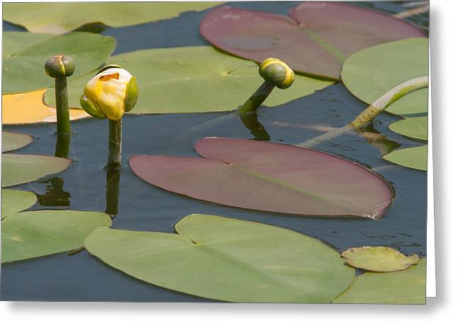 Spatterdock Heart Greeting Card