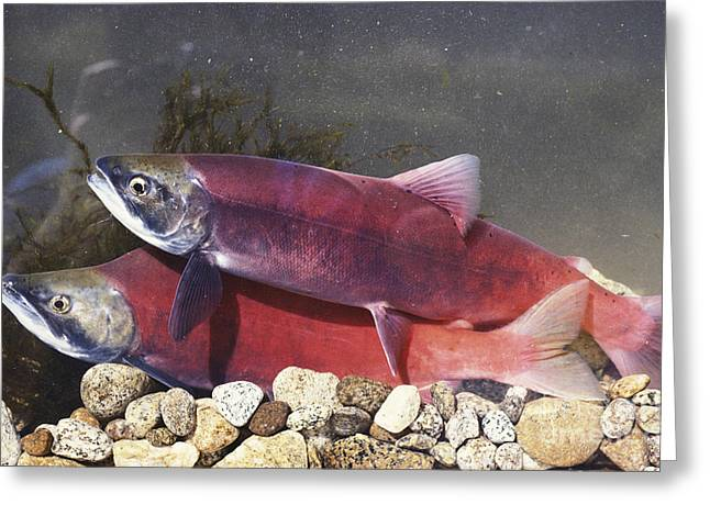 Spawning Kokanee Salmon Greeting Card by William H. Mullins