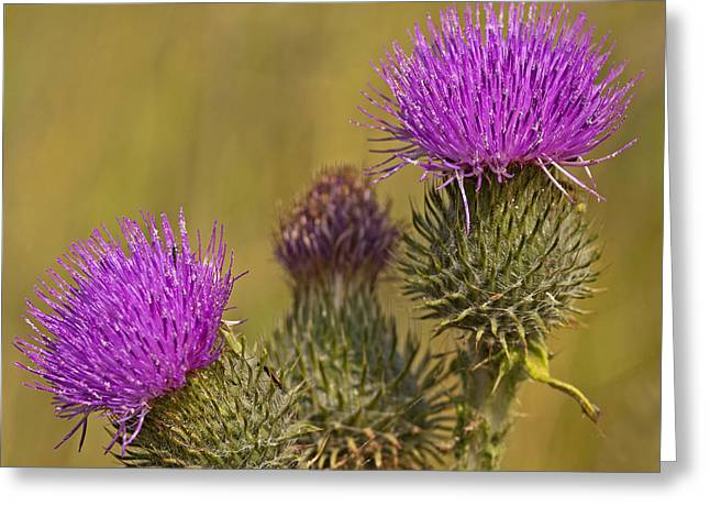 Spear Thistle Greeting Card by Paul Scoullar