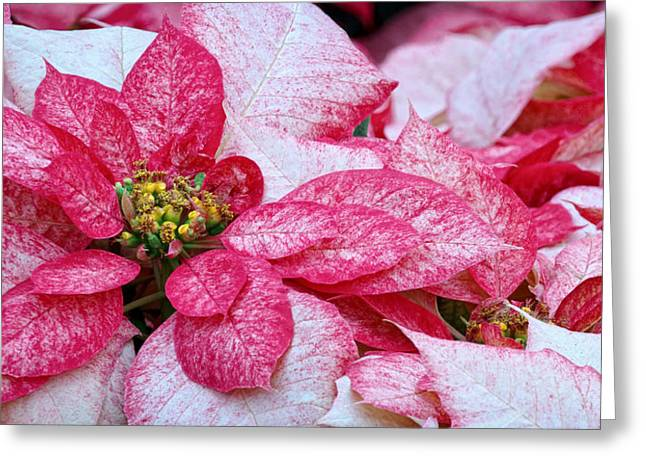 Specialty Poinsettias  Greeting Card by Donna Pagakis