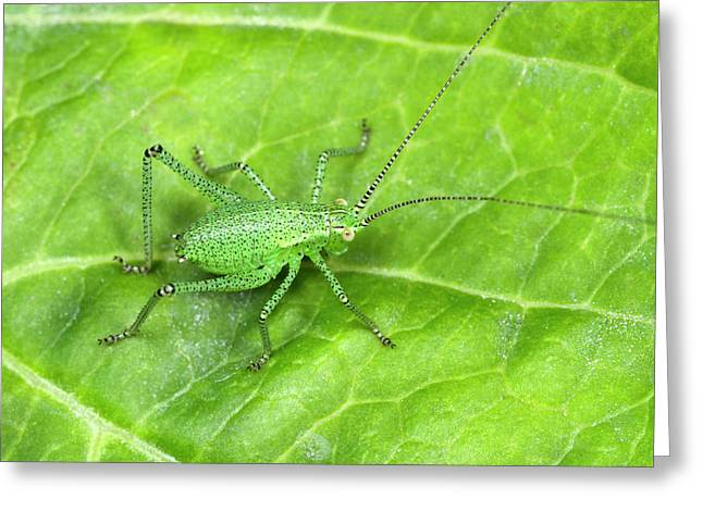 Speckled Bush Cricket Nymph Greeting Card