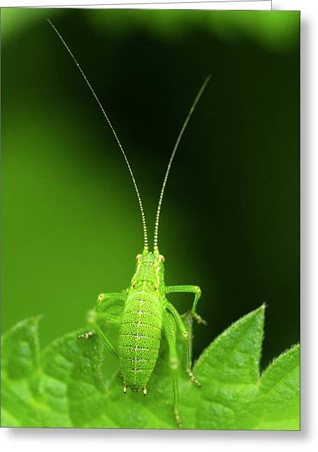 Speckled Bush-cricket Nymph Greeting Card